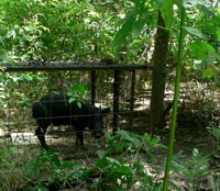 Feral hog in live trap