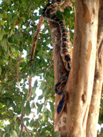Rat snake in tree