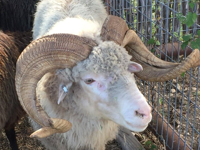 Ram in livestock corrals at Farm Day event