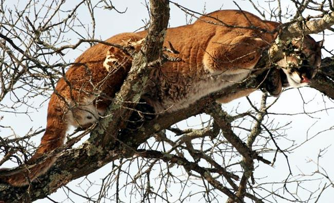 An image of a cougar in a tree, taken in Wisconsin in 2010 (Photo WI DNR)