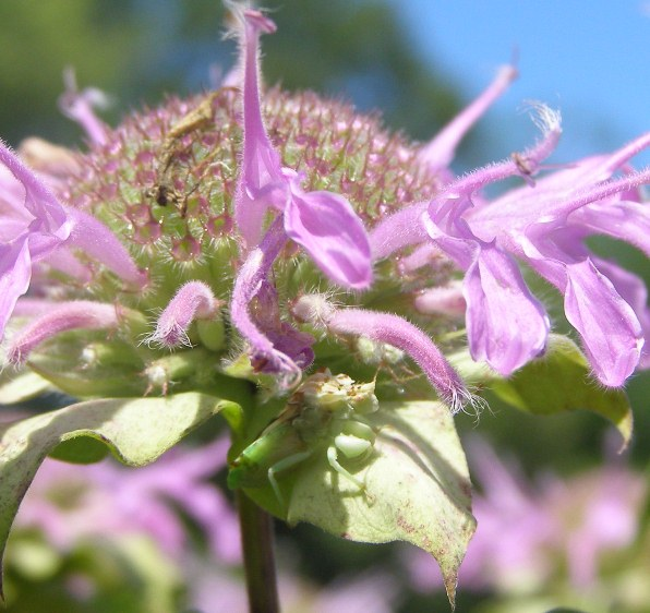 In July, a camoflaged Ambush Bug lies in wait for other insects on a flowering pinkish purple Wild Bergamot. NPS Photo