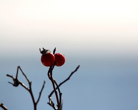 Two bright red winter berries stand out against an undefined blue background. Photo by Ronnie, aged 16