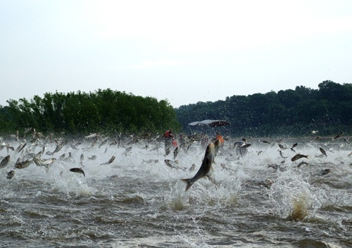 Dozens of large Silver Carp are seen jumping from the water in the wake of a motorboat on the Illinois River (Nerissa Michaels/Illinos River Biological Station)