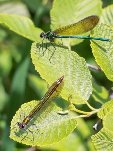 Two damselflies sitting on vegitation.