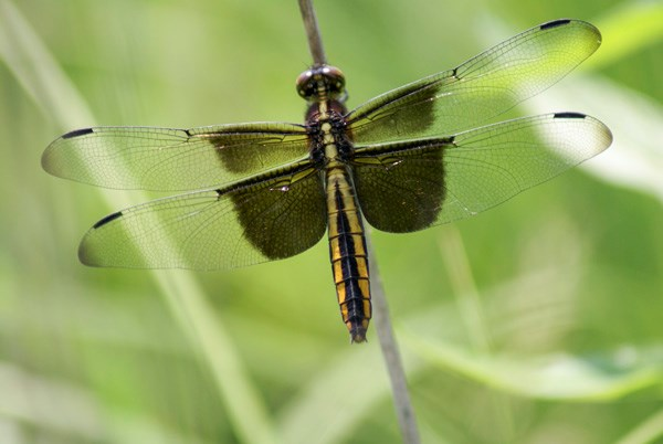 Dragonfly resting on grass.