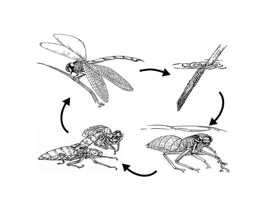 River Dragonflies