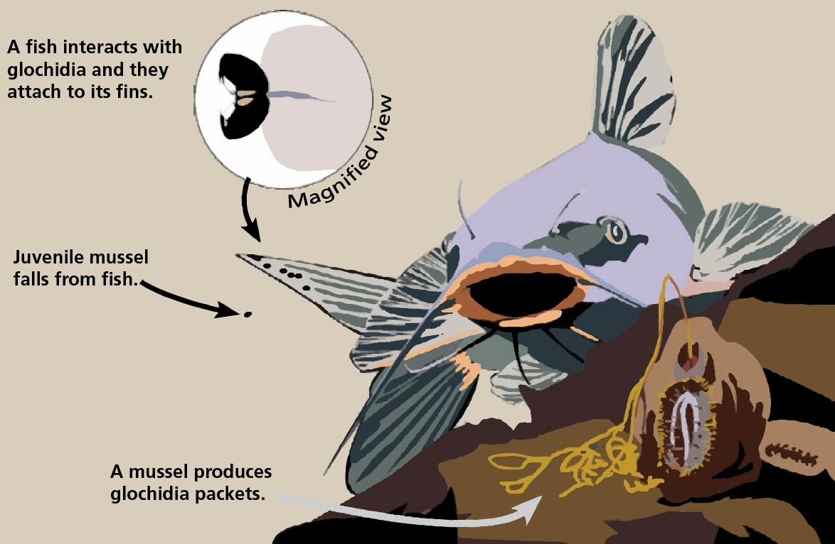 Illustration of mussel expelling glochidia with a catfish in the background. Close up image of glochidia attached to a fin.