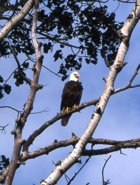 Bald Eagle Resize