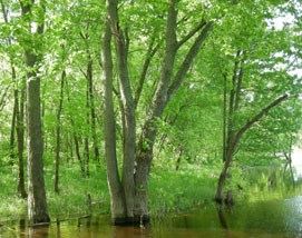 trees with leaves, with bottom of trunks underwater from flooding