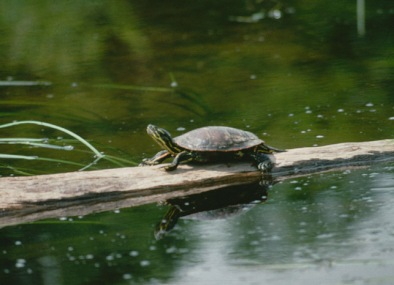 painted turtle with its yellow striped neck stretched out rests on a log admidst green water.