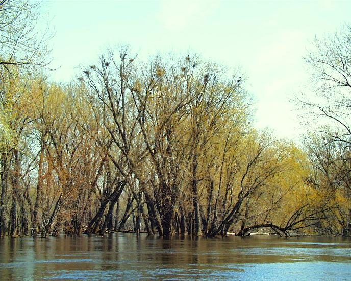 Tree with numerous heron nests at its top near a blue river amongst other budding green trees in spring.