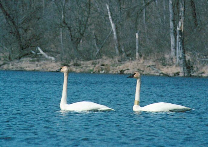 Two white swans on the blue river.