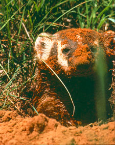 A badger, white and brown, is covered in reddish sand from digging a hole. Only his left ear is dirt free.
