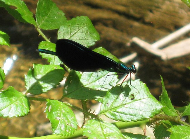 A dragonfly with black wings rests of green leaves.