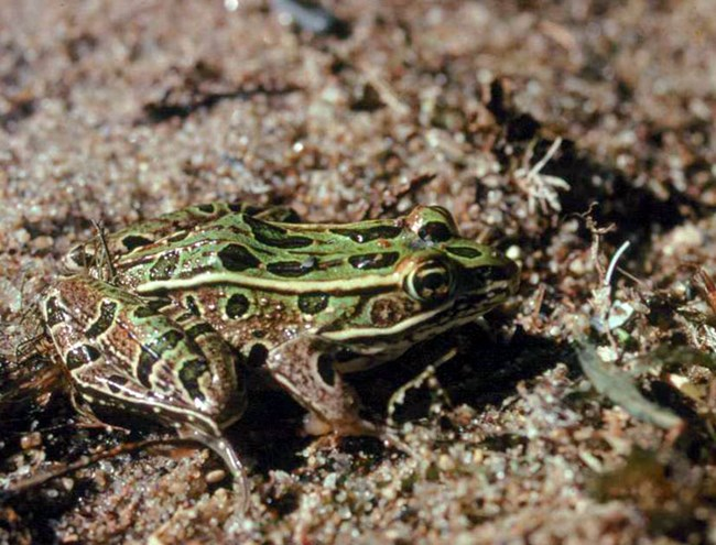 a green and brown frog with black spots, sits on sand