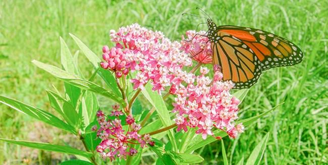 An orange monarch butterfly sits on a pink milkweed flower.
