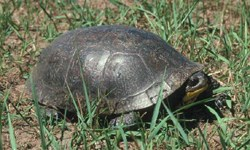 A dark domed shell covers a turtle with an orange chin