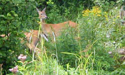 Two female deer in tall vegetation
