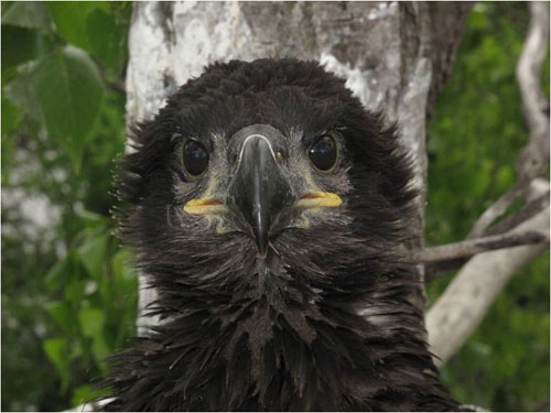Spiky black feathers frame the face of young eaglet.  Big black eyes and beak above a yellow lined mouth.
