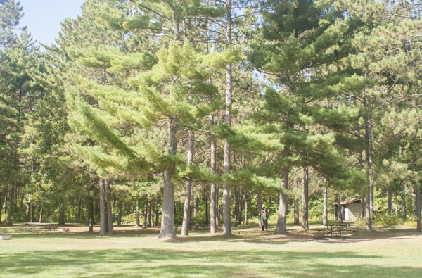 Campsites under tall pine trees.