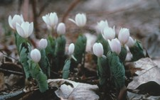 White petaled flowers protected by a rounded green leaf emerge in early spring