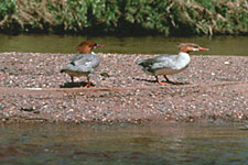 mergansers on a gravel bar