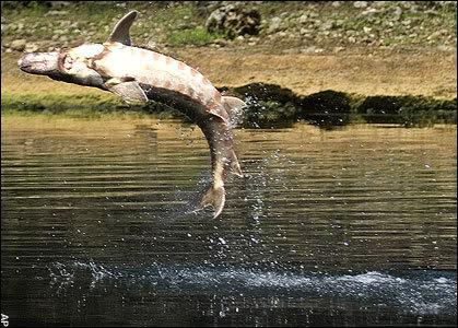 A sturgeon leaps from the water in this image. USF&W photo.