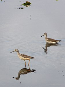Yellow-legged sandpipers walk in shallow water.