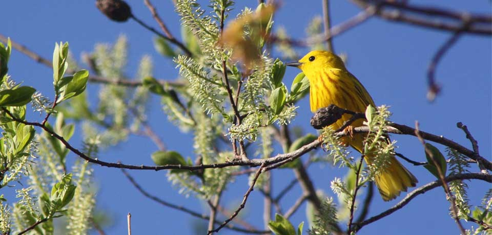 A yellow warbler sits in a tree in spring.