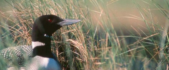 Birds such as the Minnesota's state bird the Loon, pictured here, are very susceptible to lead poisoning. (USFWS photo)