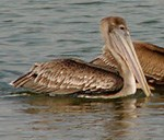 A brown pelican floating on the water.