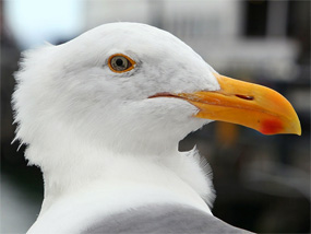 A close-up of the head of a western gull.