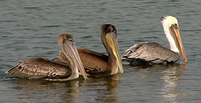 Three brown pelicans floating on the water.