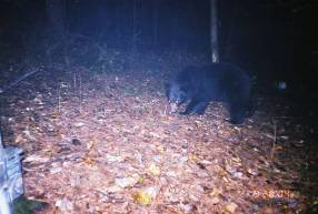 Black bear captured by a remote camera during a survey in the forest at Saint-Gaudens National Historic Site.