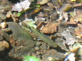 Photo of a brook trout