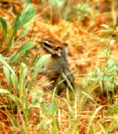 Photo of an Eastern Chipmunk, a type found at Saint-Gaudens NHS