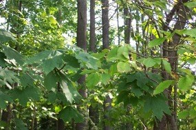 Photo of Norway Maple and Japanese Tree Lilac
