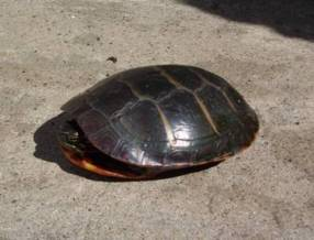 A painted turtle from Blow-Me-Down Pond at Saint-Gaudens National Historic Site.