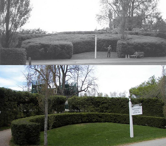 Horseshoe hedge, before and after replacement.