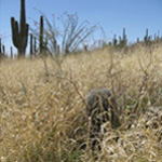 Buffelgrass choking out Saguaros