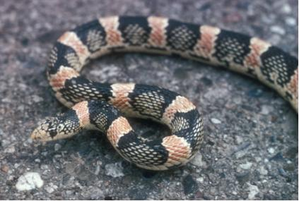long-nosed snake