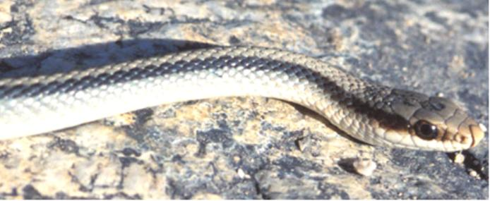 mountain patch-nosed snake