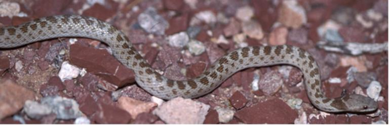 Snakes With Triangle Shaped Heads http://www.nps.gov/sagu/nonvenomous-snakes.htm