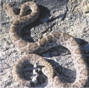 western diamondbacked rattlesnake