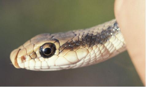 Minden Pictures stock photos - Eastern Shield-nose Snake ...