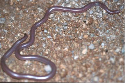 western threadsnake