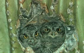 Elf Owls in Saguaro Cavity
