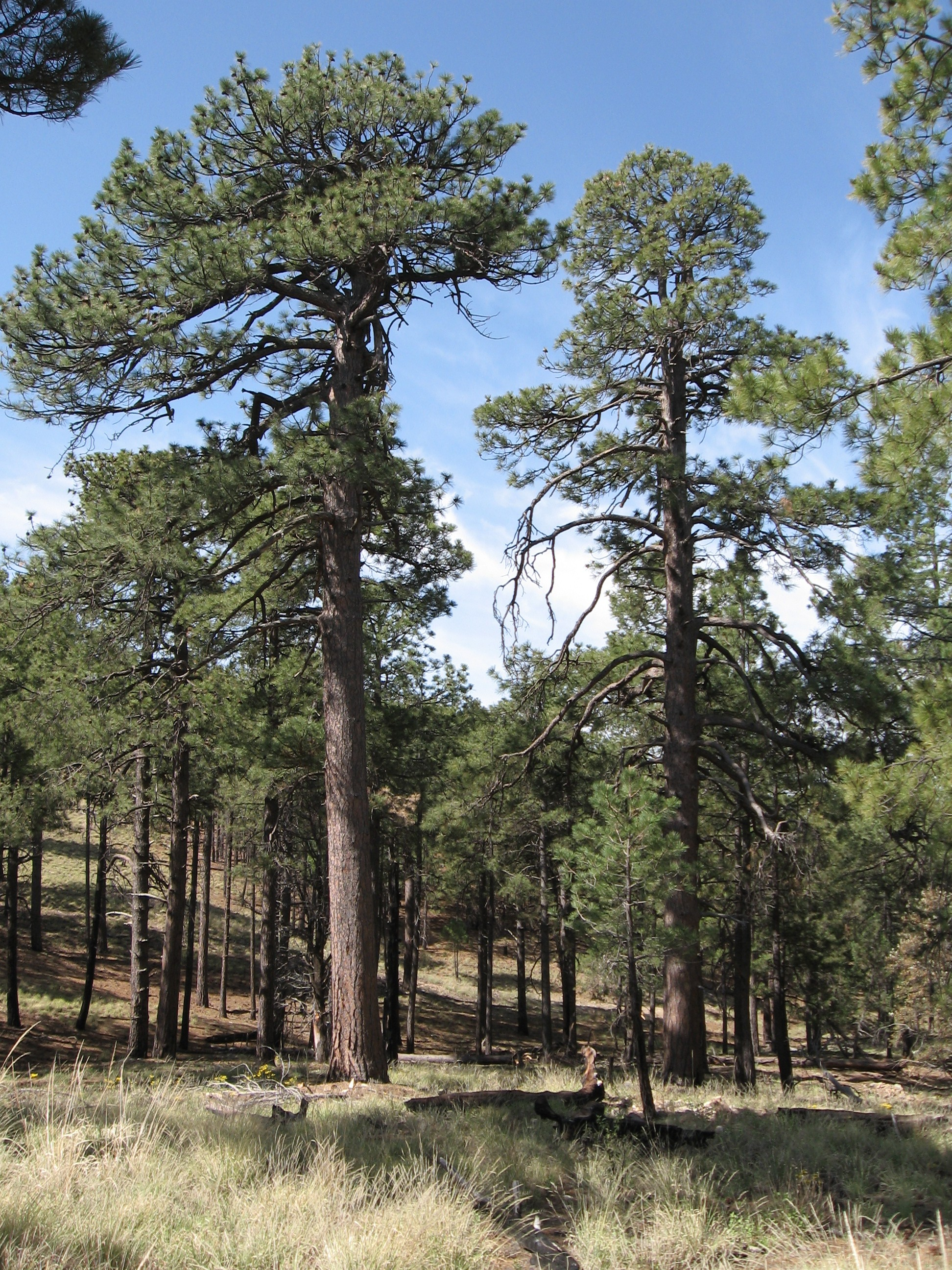 Large ponderosa pines in a natural setting.