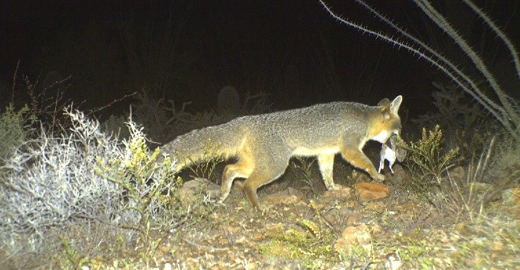 Gray fox carrying a woodrat in it's mouth