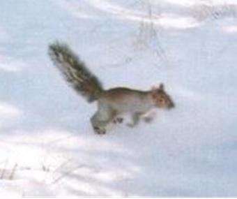 A squirrel hopping through snow.